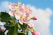 istock Apple-tree flower 105764105