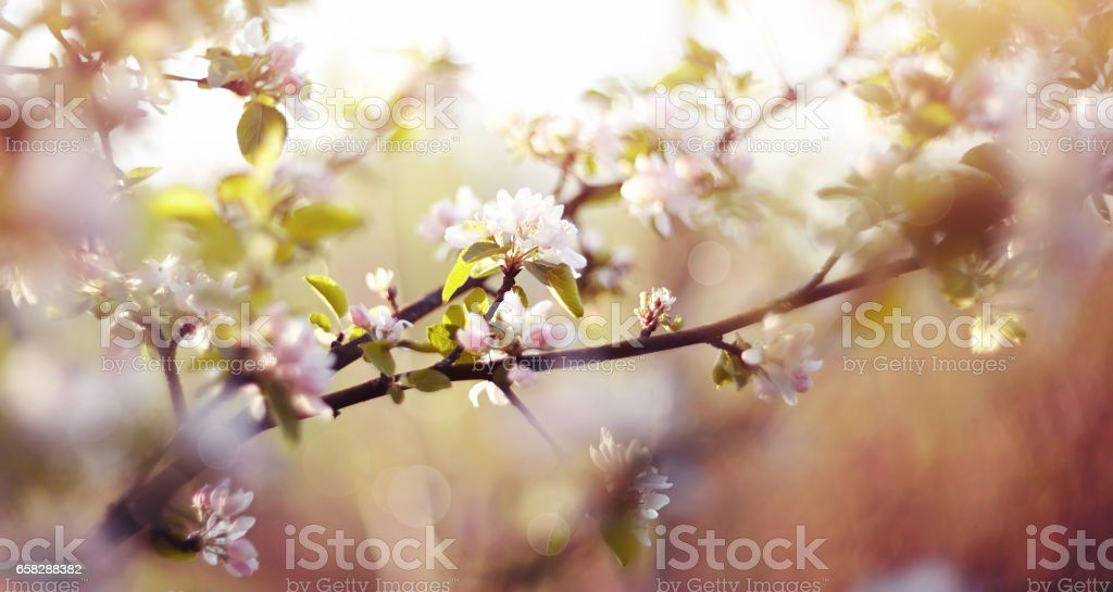 Apple-tree flowers in the spring stock photo