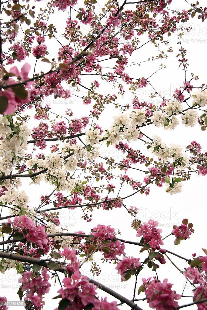 Apple-tree flowers royalty-free stock photo