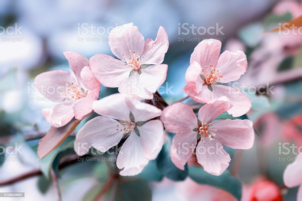 Apple-tree flowers stock photo