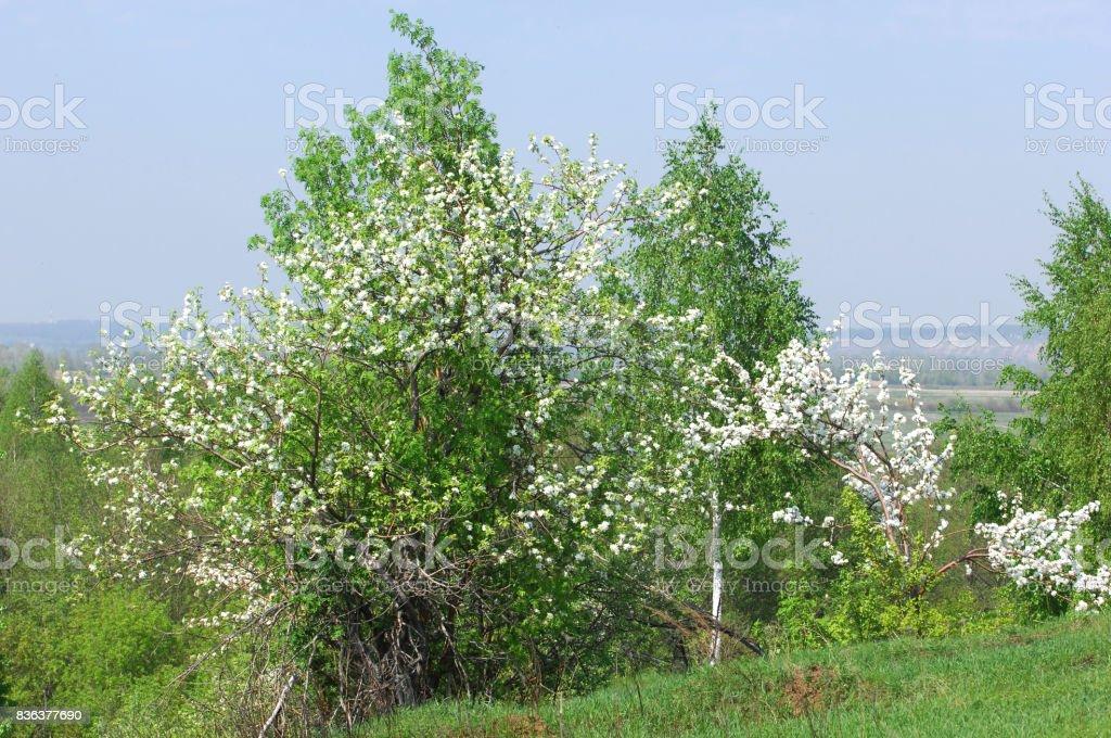 apple-tree flowers stock photo