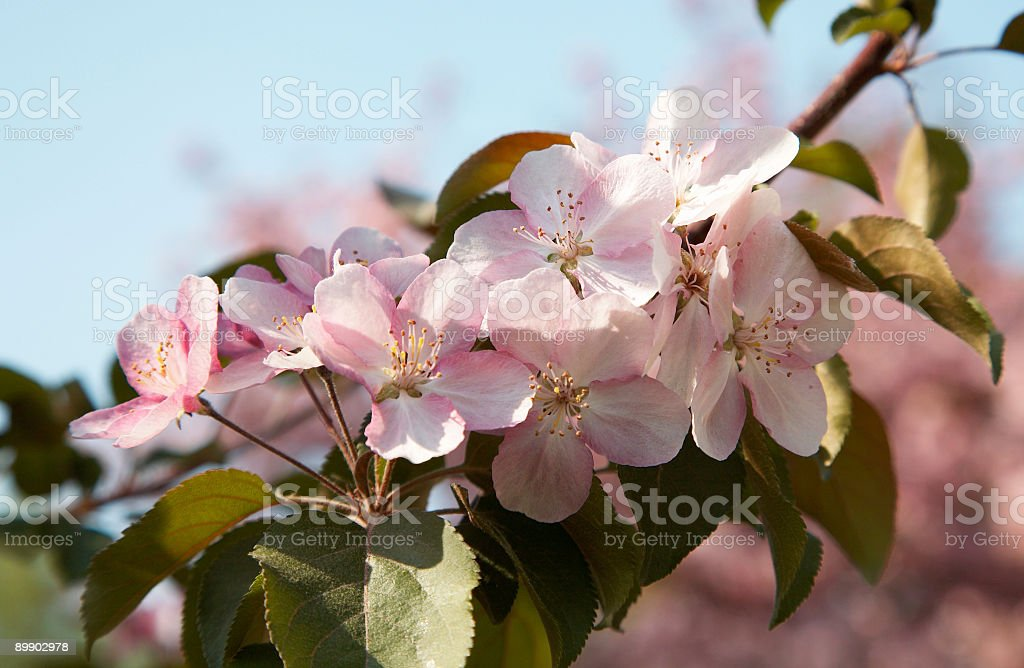 Apple-tree flores foto de stock libre de derechos
