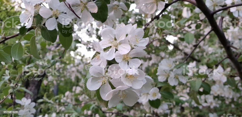 apple-tree stock photo