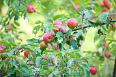 Lovely Red Ripe Apples on the Branch.In full Late Summer sun.Please see my other Apple/Orchard shots.