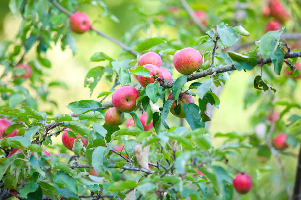 appletree with many red ripe fresh apples stock photo