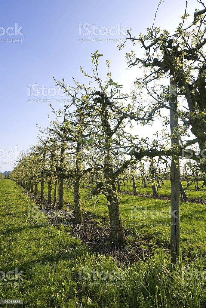Appletrees royalty-free stock photo
