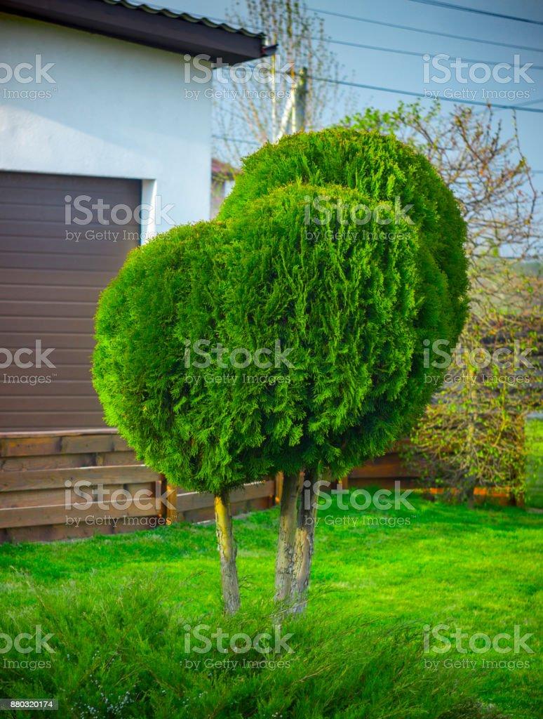 Application of globular shredded thuja in a landscape design stock photo