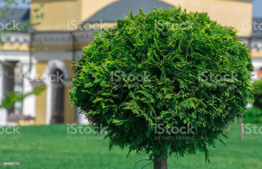 Application Of Globular Shredded Thuja In A Landscape Design Stock Photo Download Image Now Istock