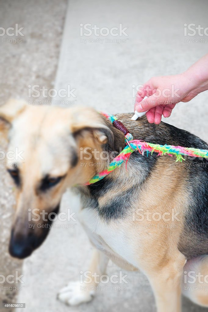 Applying product for parasites prevention on dogs pet stock photo