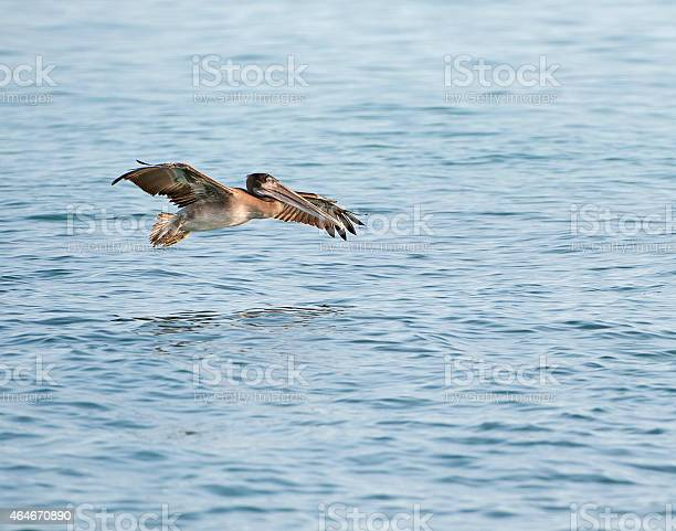 Brown Pelican flares in its approach to land, Galapagos Isalnds, Ecuador