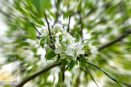 istock approaching bouquet of white flowers apple-tree cherry on a background of green leaves spring design acceleration blur rays 1126891497