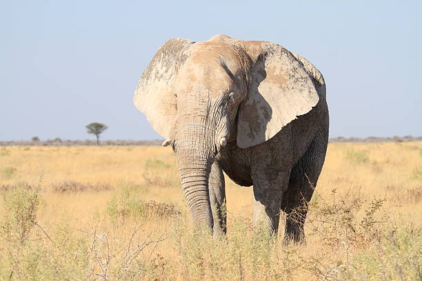 Approaching Elephant Bull in Etosha National Park stock photo