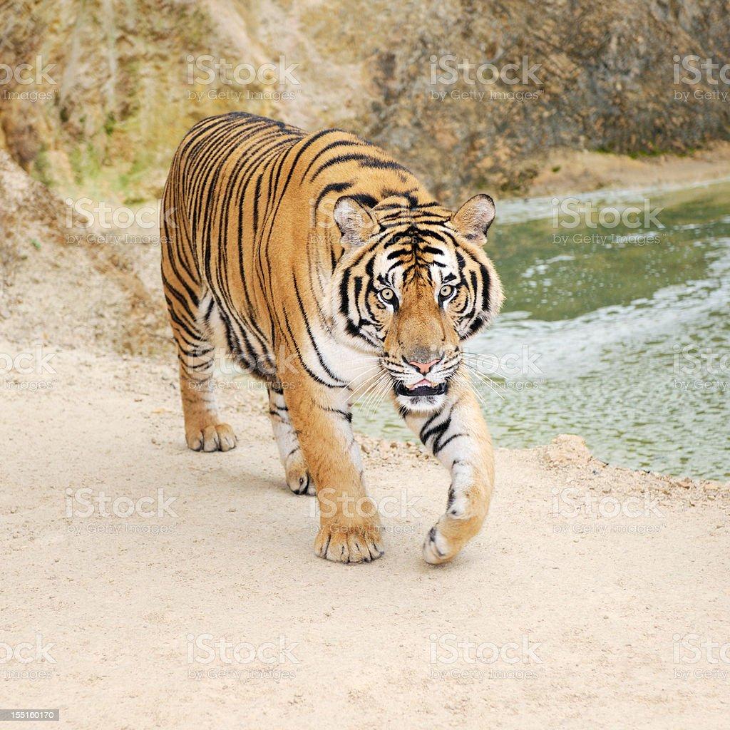 Approaching Full grown Bengal Tiger royalty-free stock photo