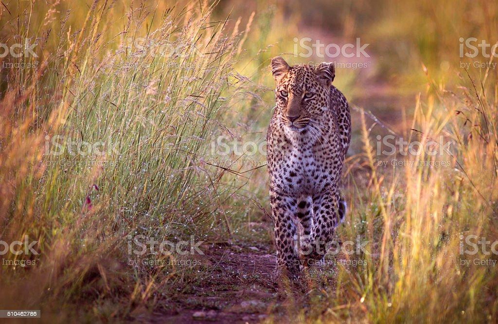 Approaching leopard stock photo