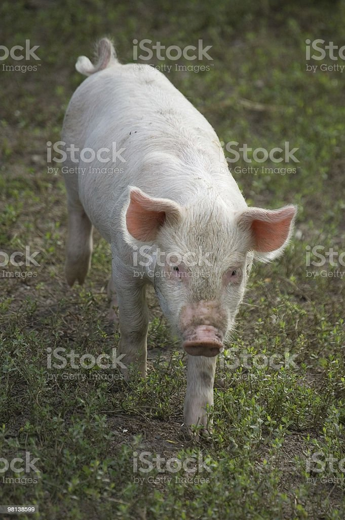 Approaching piglet royalty-free stock photo