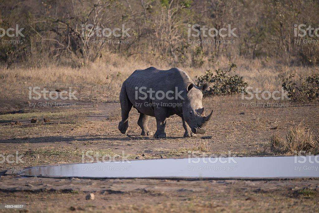 Approaching Rhino royalty-free stock photo