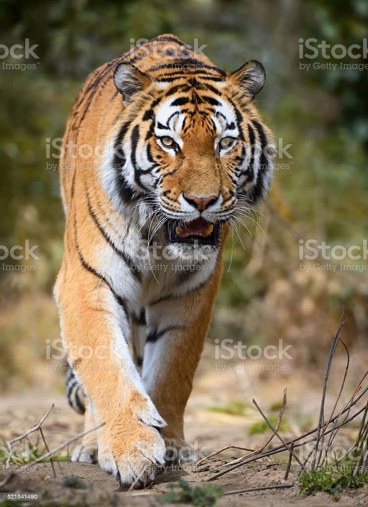 approaching tiger stock photo