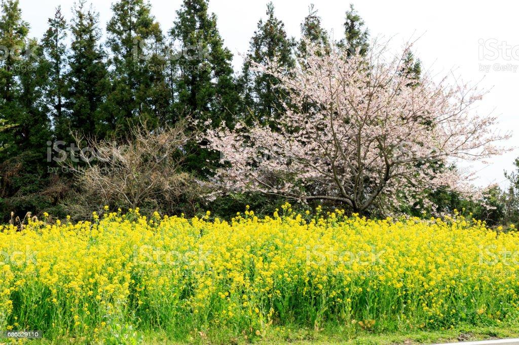 Apr 7, 2017 Spring canola blossom on the street in Jeju Island, South Korea foto stock royalty-free