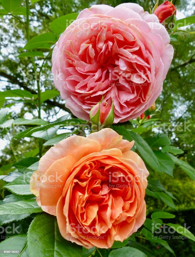 Apricot and pink rose blossoms stock photo