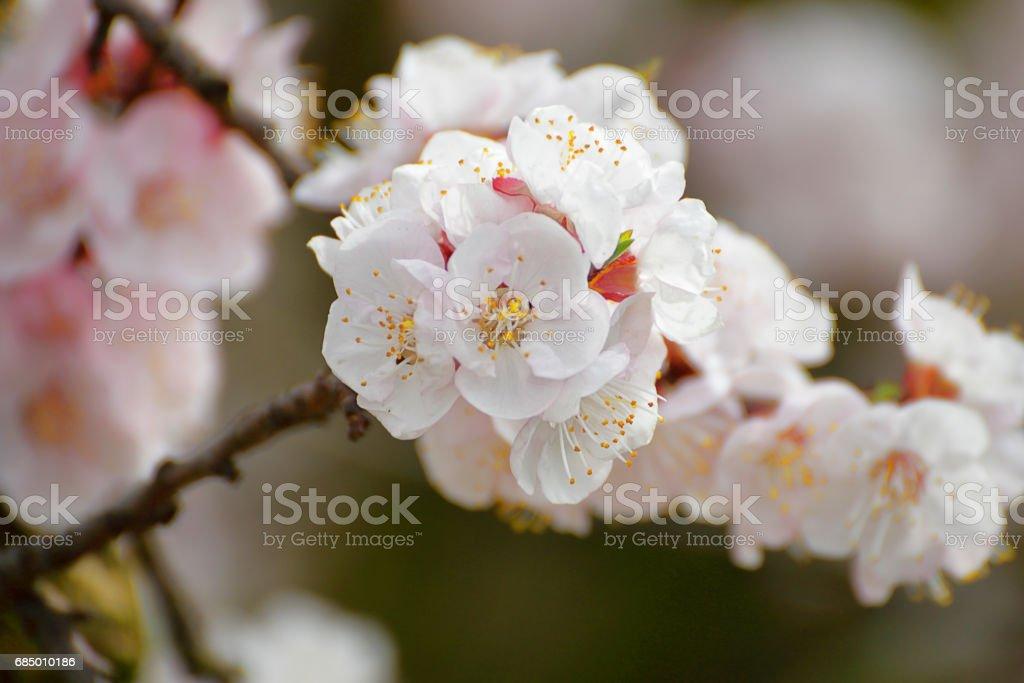 Aprikose bloosoms – Foto