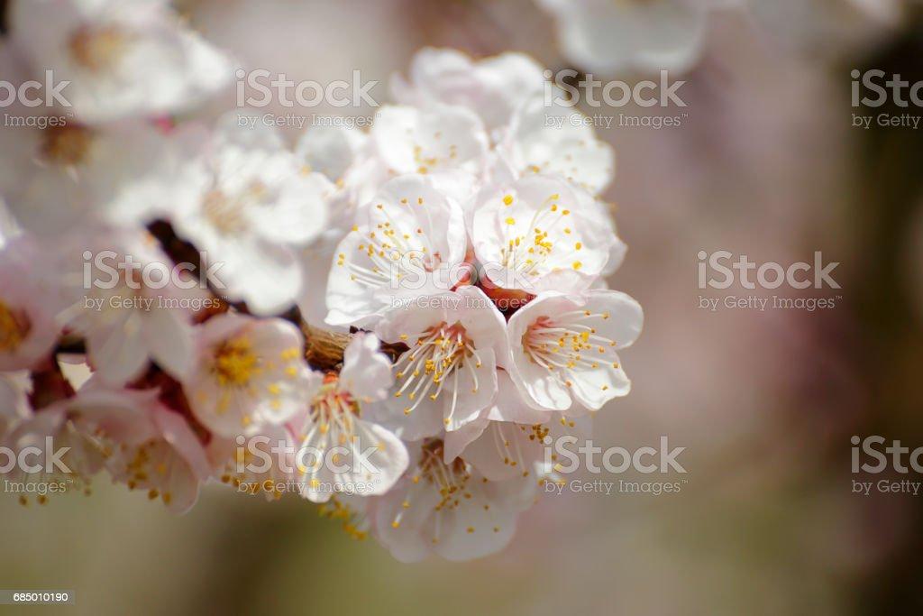 Apricot bloosoms stock photo