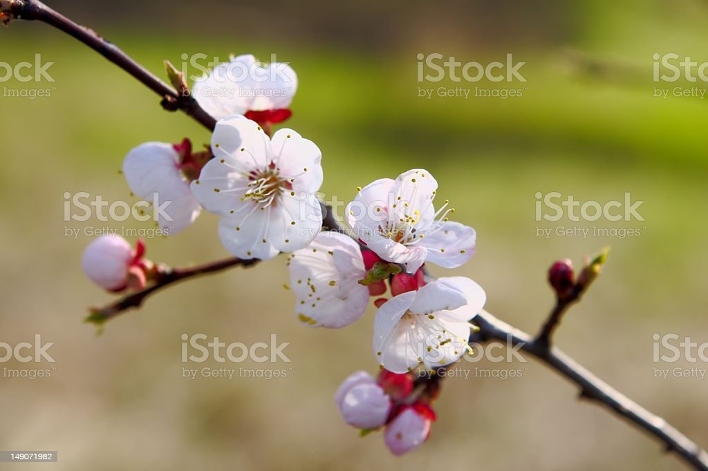 Apricot blossom back lit with sun royalty-free stock photo