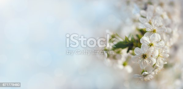 istock Apricot blossom background 671779460