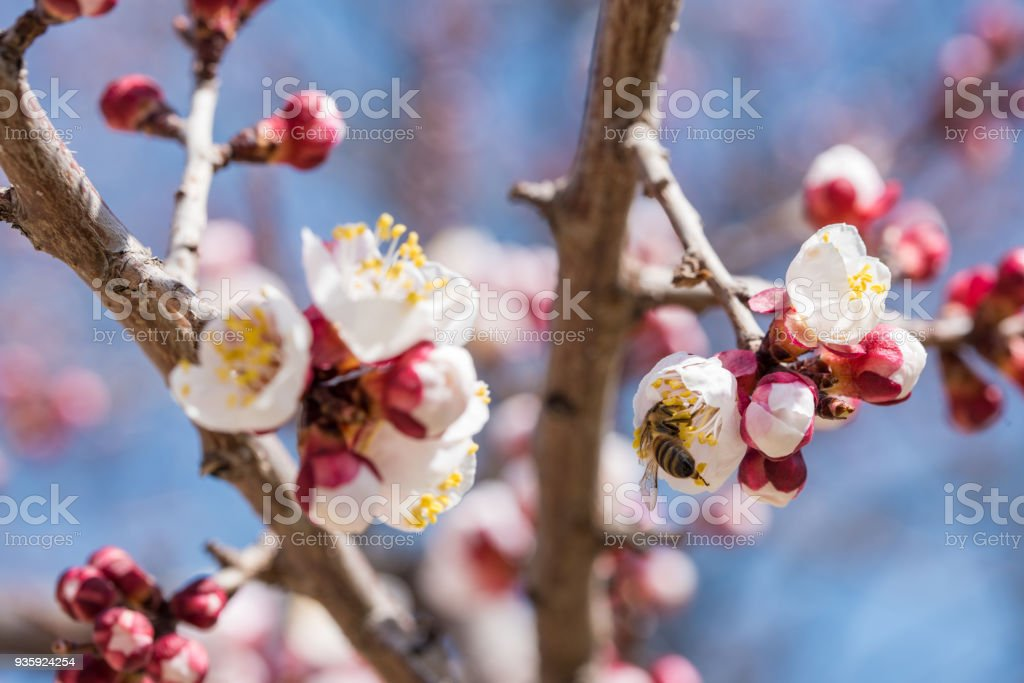 Apricot Blossom. Bee Pollinates a Apricot Fowers stock photo