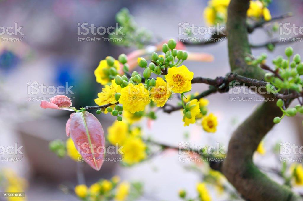 Apricot blossom flower at Hanoi, Vietnam stock photo