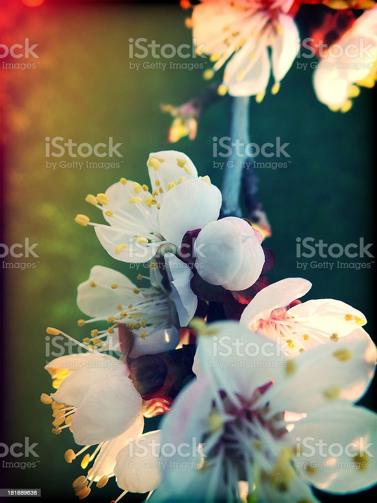 apricot blossom in april royalty-free stock photo