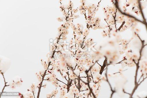 istock Apricot blossom in snow. 954660368