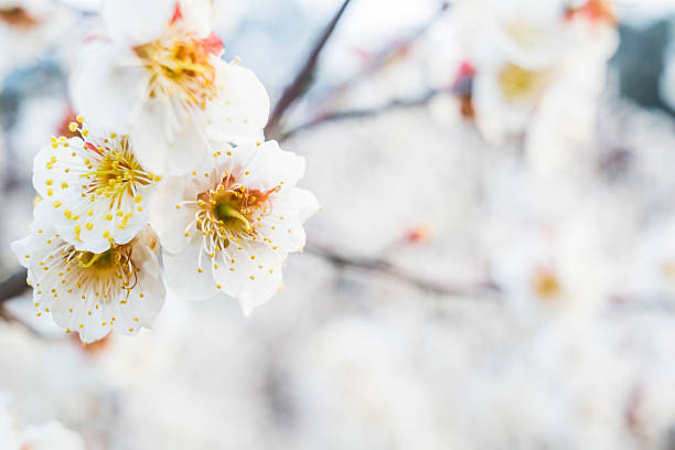 Apricot blossom in the spring stock photo