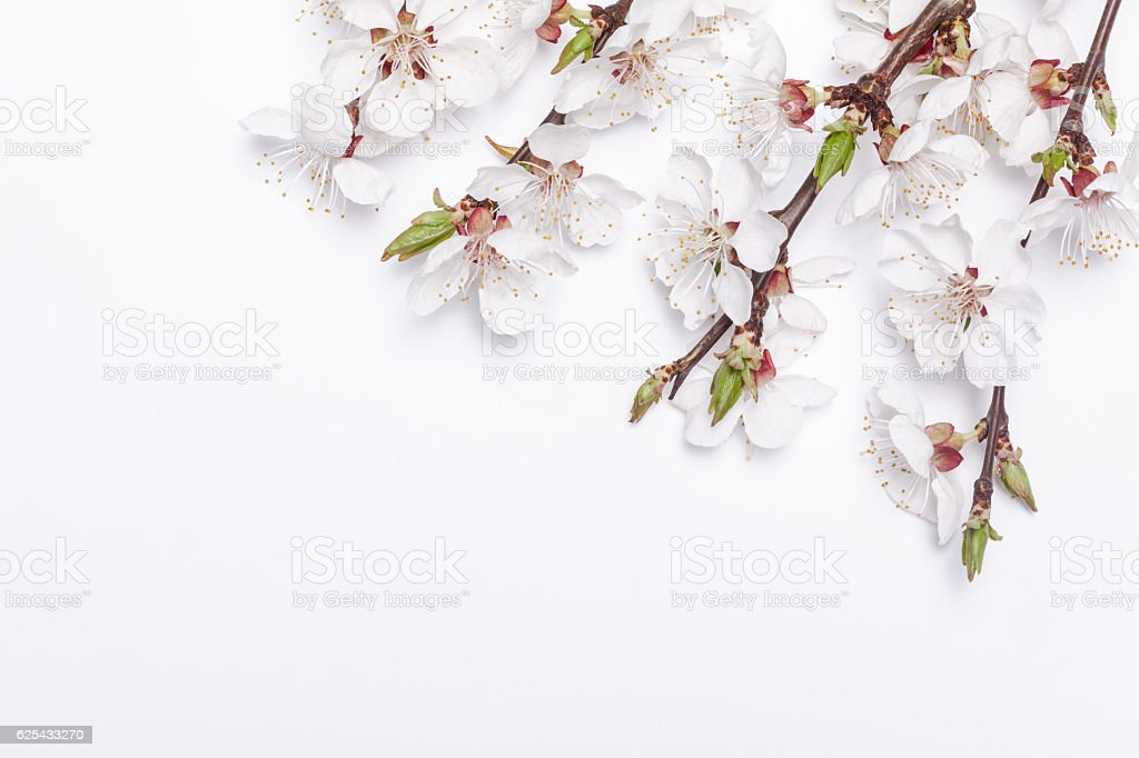 Apricot blossom on white background early spring. stock photo