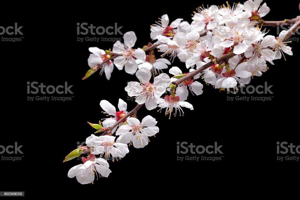 Apricot blossom stock photo
