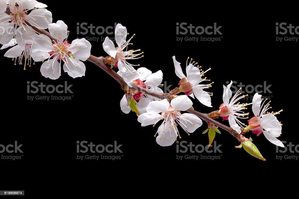 Fleur d'abricotier  - Photo