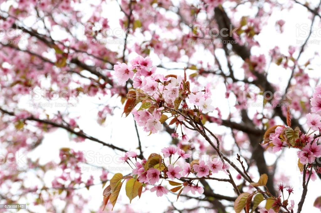 Apricot blossom foto de stock royalty-free