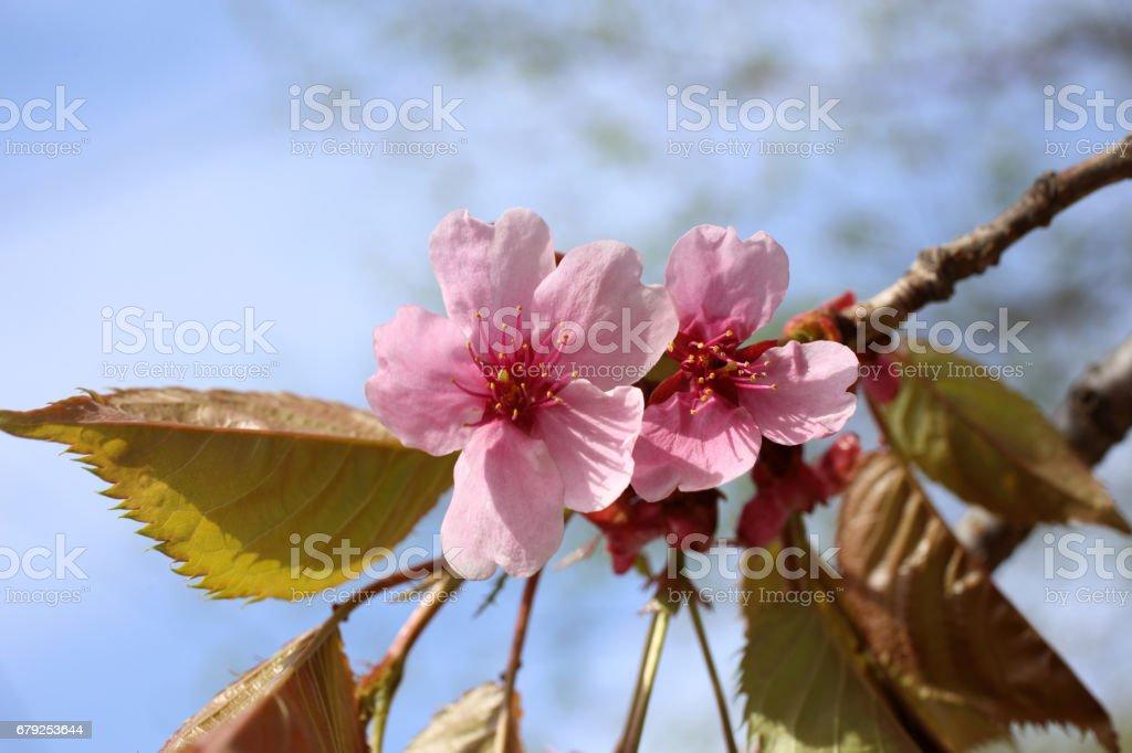Apricot blossom photo libre de droits