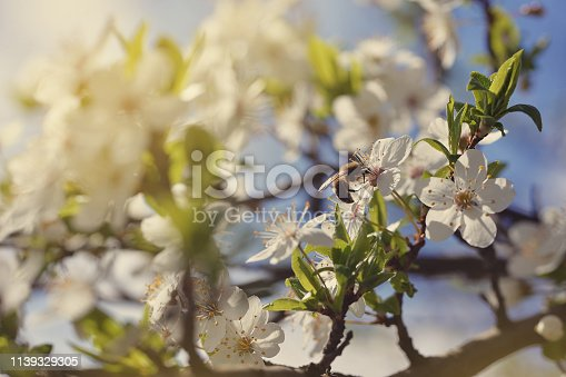 istock Apricot blossoms against the blue sky, spring has come 1139329305