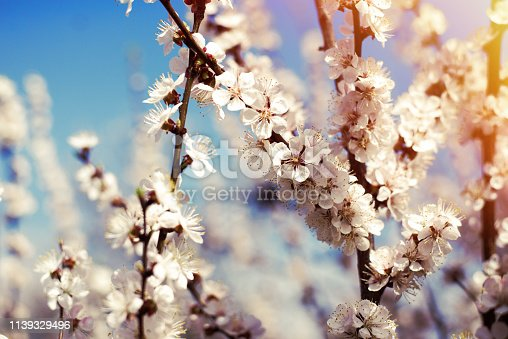 istock Apricot blossoms against the blue sky, spring has come 1139329496