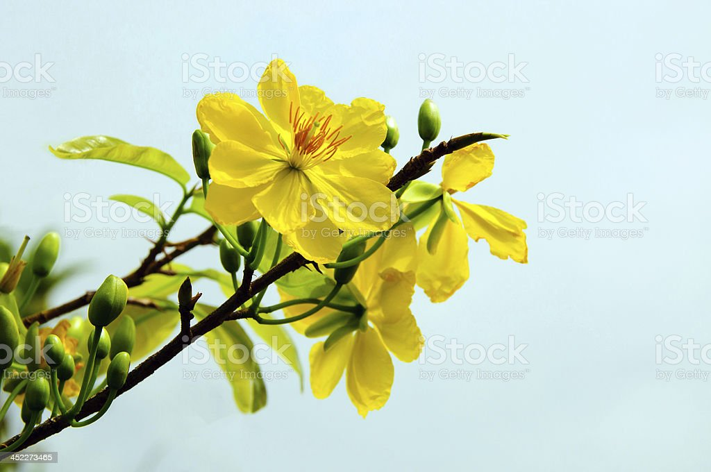 Apricot blossoms in Lunar new year at Vietnam (3) stock photo