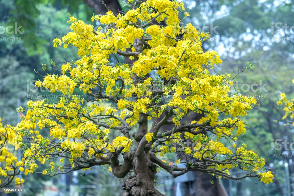 Apricot bonsai tree blooming with yellow flowering branches curving create unique beauty stock photo