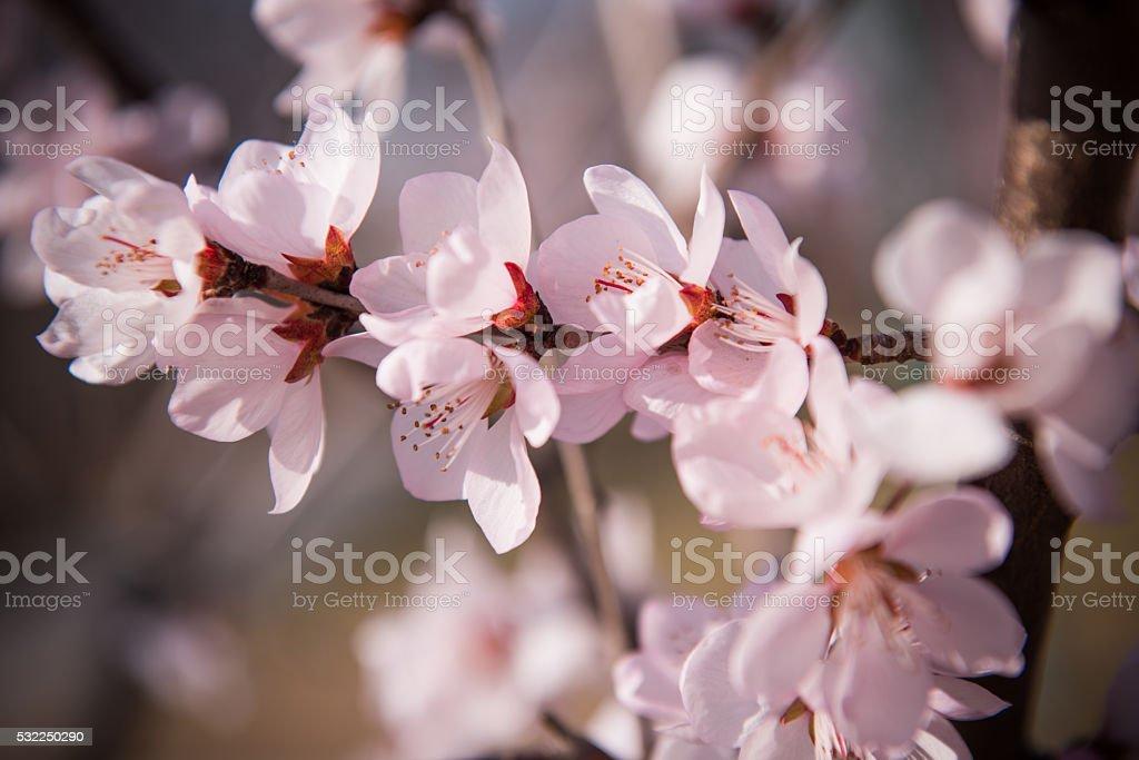 Apricot flower background stock photo