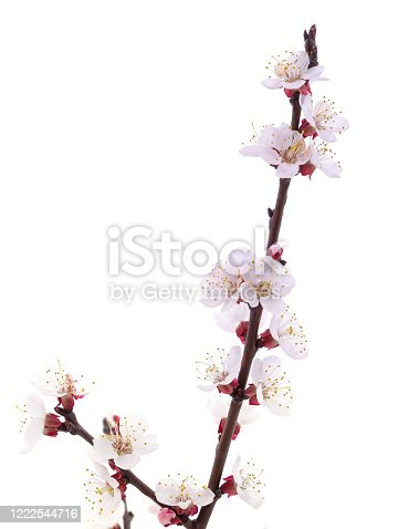 istock Apricot flower on a branch. 1222544716
