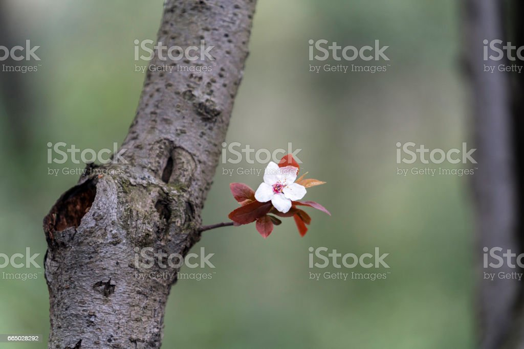 Apricot flower on branch stock photo