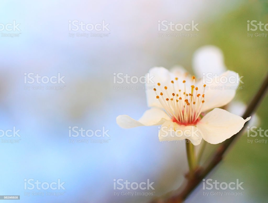 apricot flower royalty-free stock photo