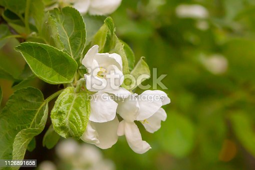 istock apricot flowers among young foliage fruit tree background spring colorful base design bloom 1126891658