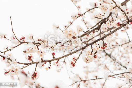 istock Apricot flowers bloom in the snow in Yanqing, Beijing, China. 954662282