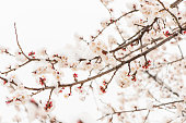 Apricot flowers bloom in the snow in Yanqing, Beijing, China.