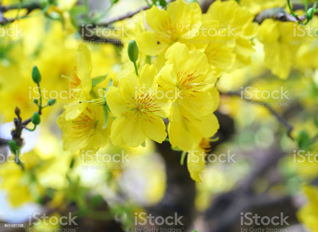 Apricot flowers blooming in Vietnam Lunar New Year stock photo