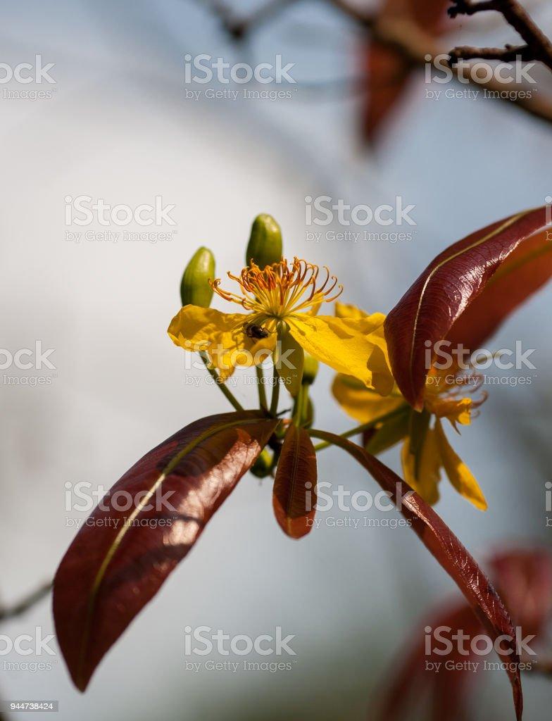 Apricot Flowers Blooming In Vietnam Lunar New Year Spring Flowers
